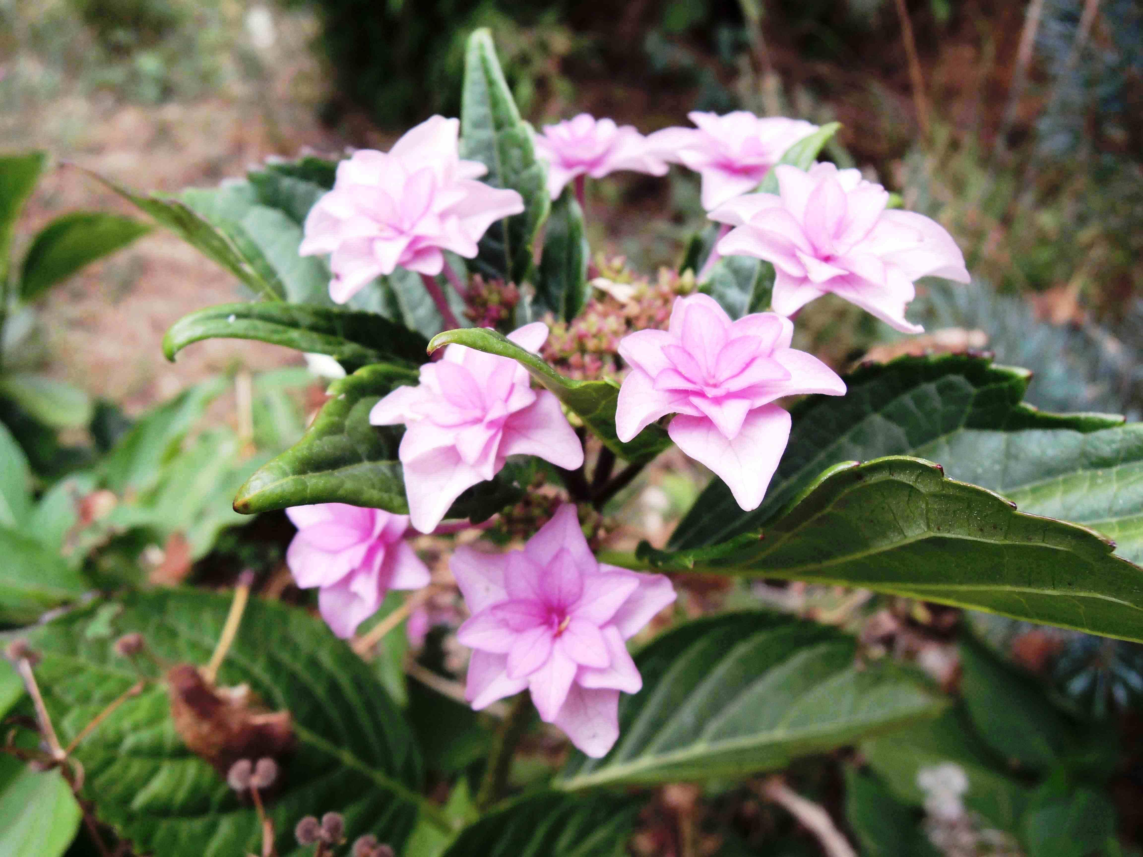 Hydrangea Macrophylla 'romance'® 'you And Me'