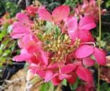 Hydrangea Paniculata Diamant Rouge®'rendia' C.o.v.