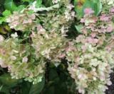 Hydrangea Paniculata 'silver Dollar'2