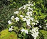 Hydrangea Quercifolia 'snow Flakes'