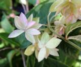 Hydrangea Stellata 'prolifera'2