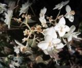 Hydrangea Stellata 'shira Huzi'