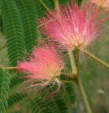 Albizia Julibrissin Mimosacées