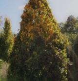 Carpinus Betulus 'pyramidalis' Bétulacées