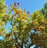 Koelreuteria Paniculata Sapindacées