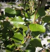 Populus Nigra 'italica' Salicacées