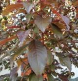 Prunus Ceracifera 'atropurpurea' Rosacées