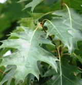 Quercus Robur Fagacées