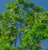 Robinia Pseudoacacia Fabacées