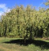 Salix Alba 't'ristis' Salicacées