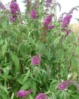 Buddleja Davidii Buddlejaceae