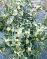 Buxus Sempervirens Buxacees