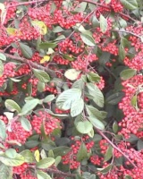 Cotoneaster Franchetii Rosacees