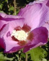 Hbiscus Syriacus (Fleur) Malvacees