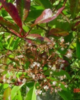 Photinia X Fraseri (Fleur)Rosaceae