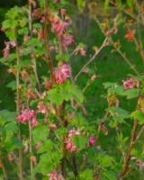 Ribes Sanguineum Grossulariacees
