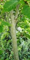 Acer Davidii 'scarlet Forest' (Tronc)Acéracées
