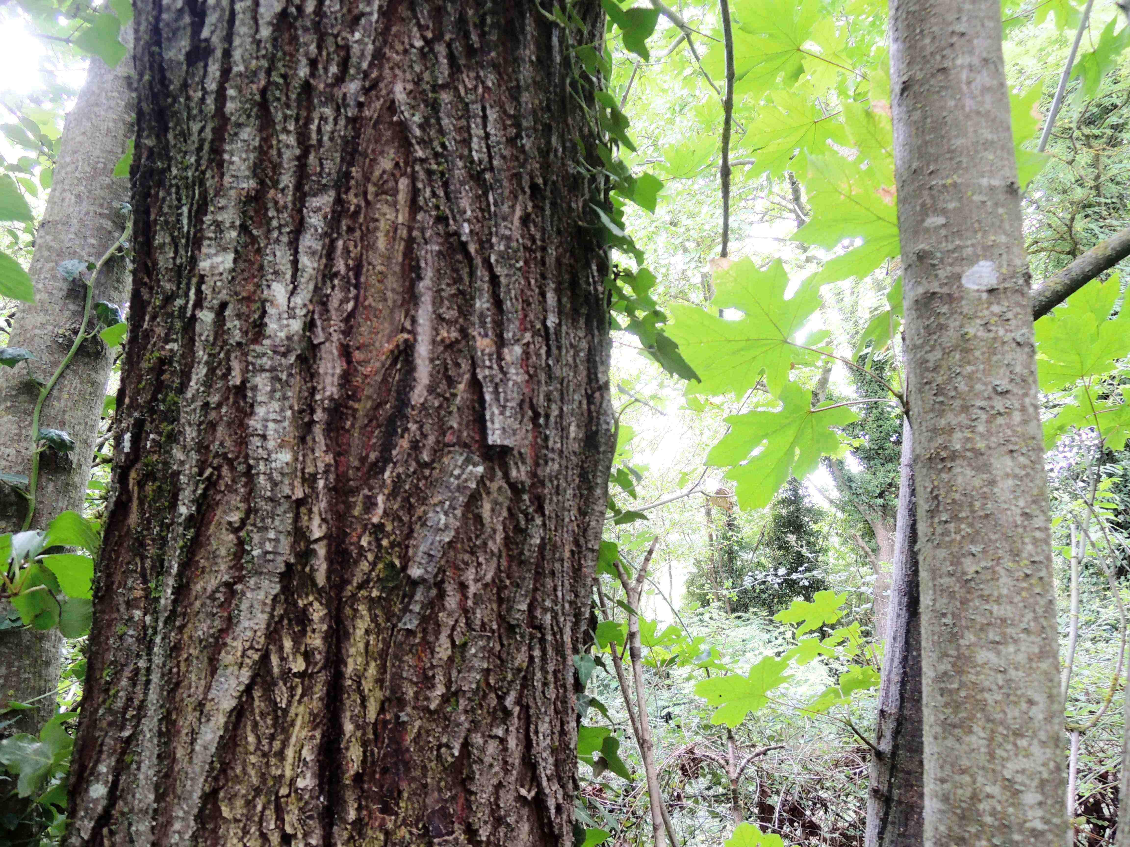 Acer Macrophyllum Troncs Acéracées