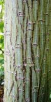 Acer Pectinatum Ssp.laxiflorum(Tronc) Acéracées