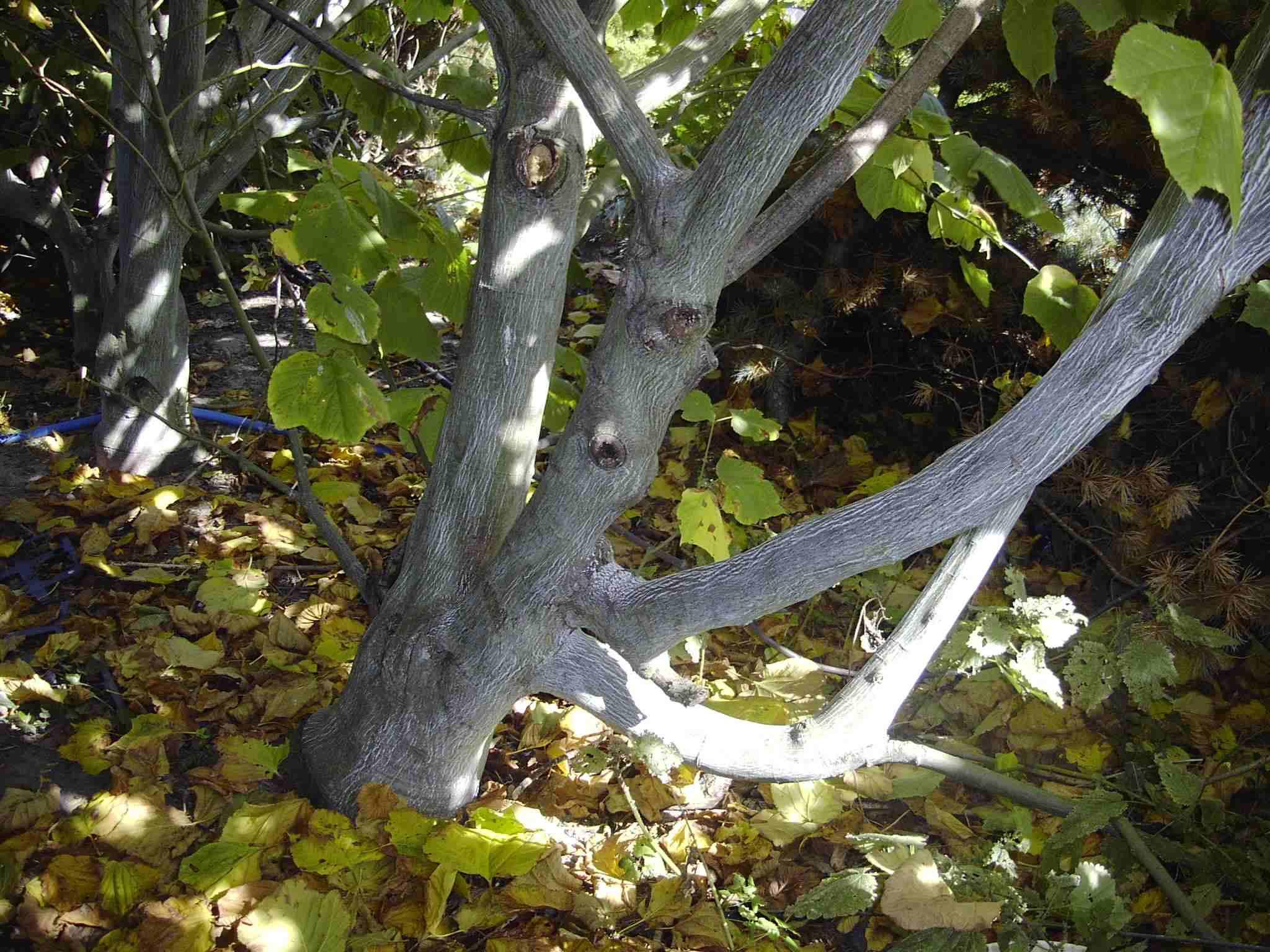 Acer Pensylvanicum (Tronc) Aceraceae