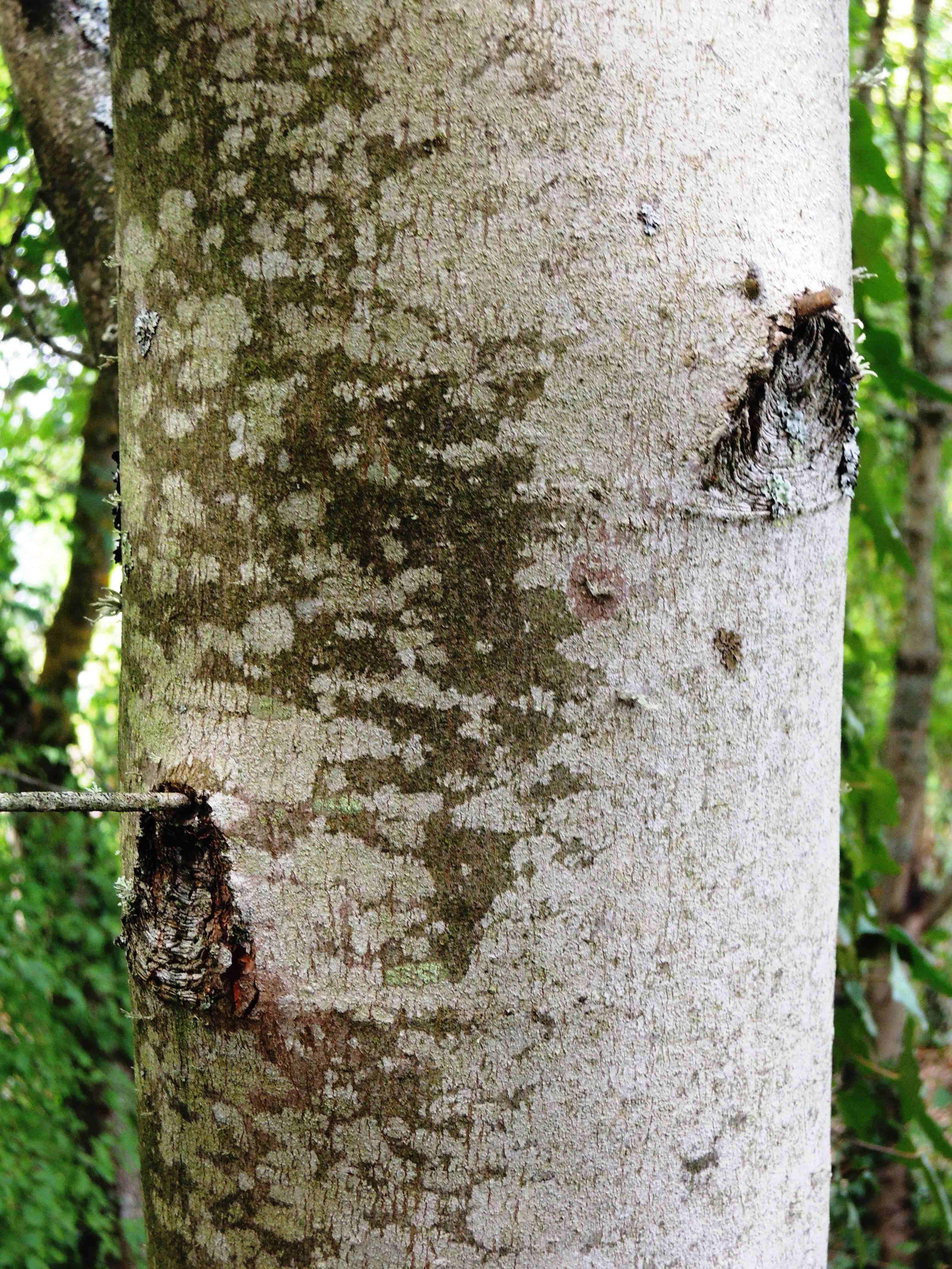 Acer Saccharinum(Tronc) Acéracées