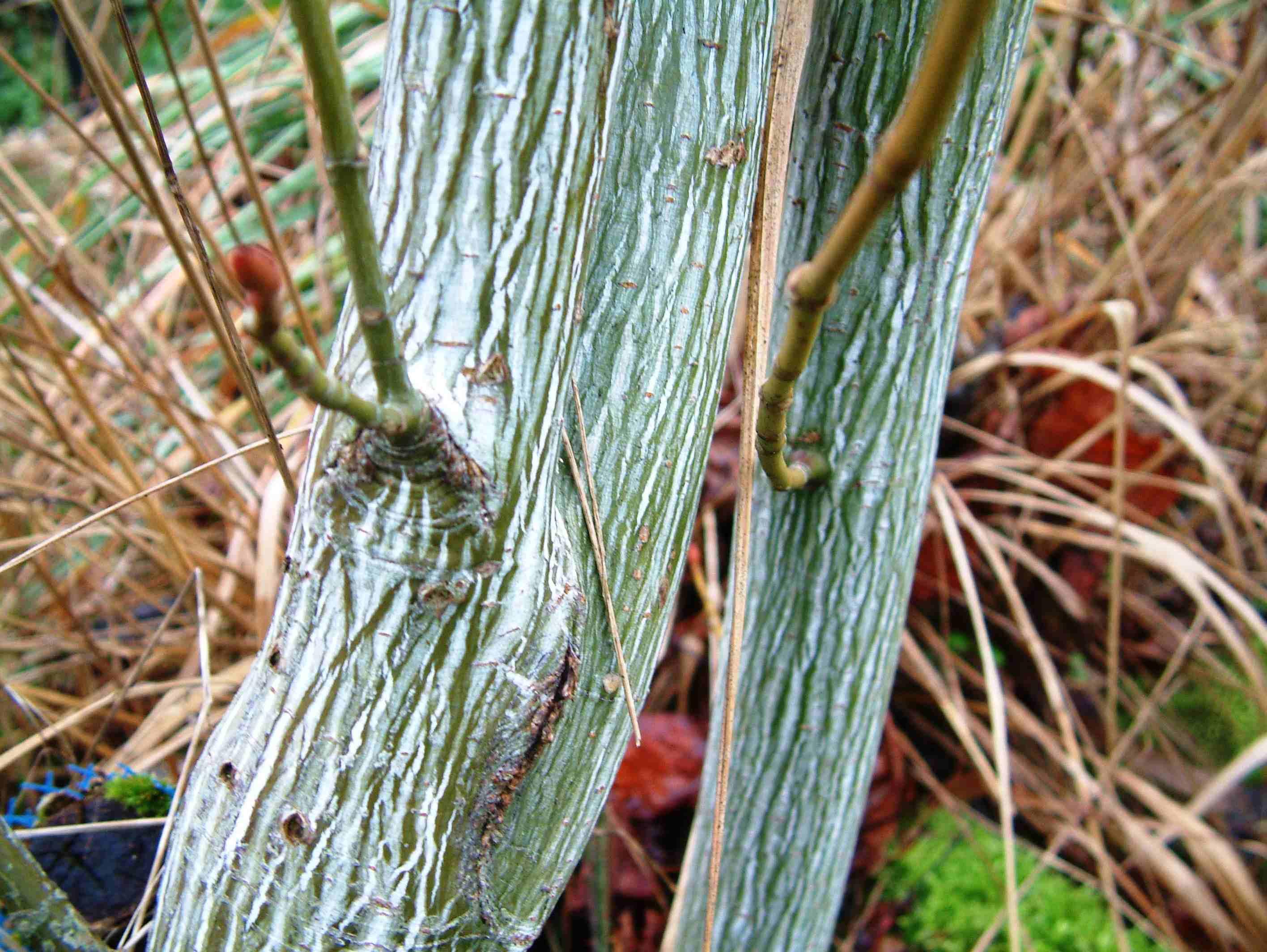 Acer Tegmentosum (Tronc) Aceraceae