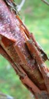 Acer Triflorum (Tronc) Aceraceae